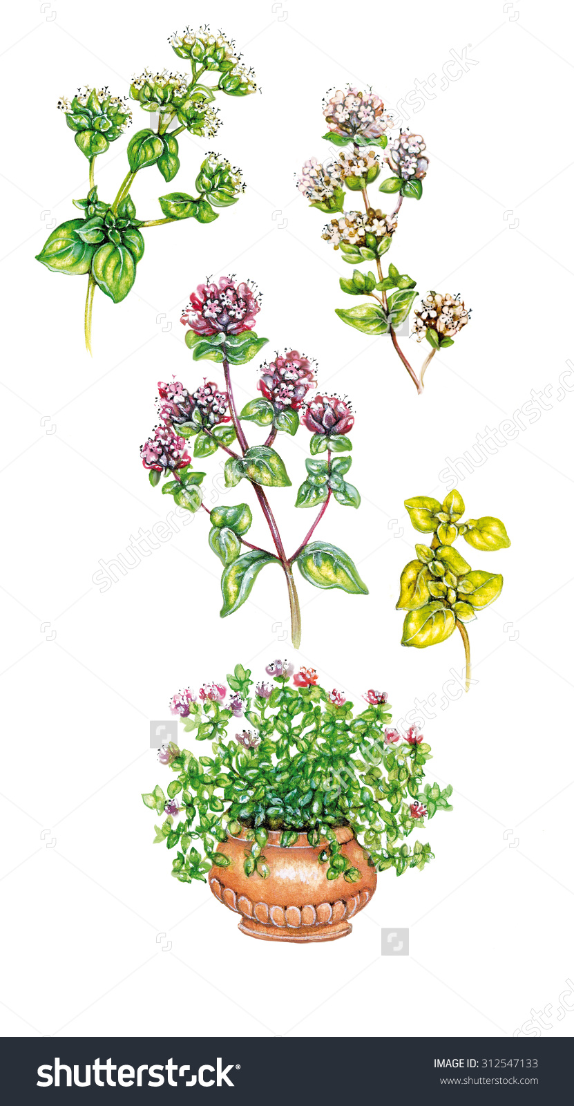 Realistic Illustration Of Different Subspecies Of Oregano Plant.