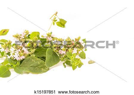 Stock Photography of Majoram Origanum vulgare L. k15197851.