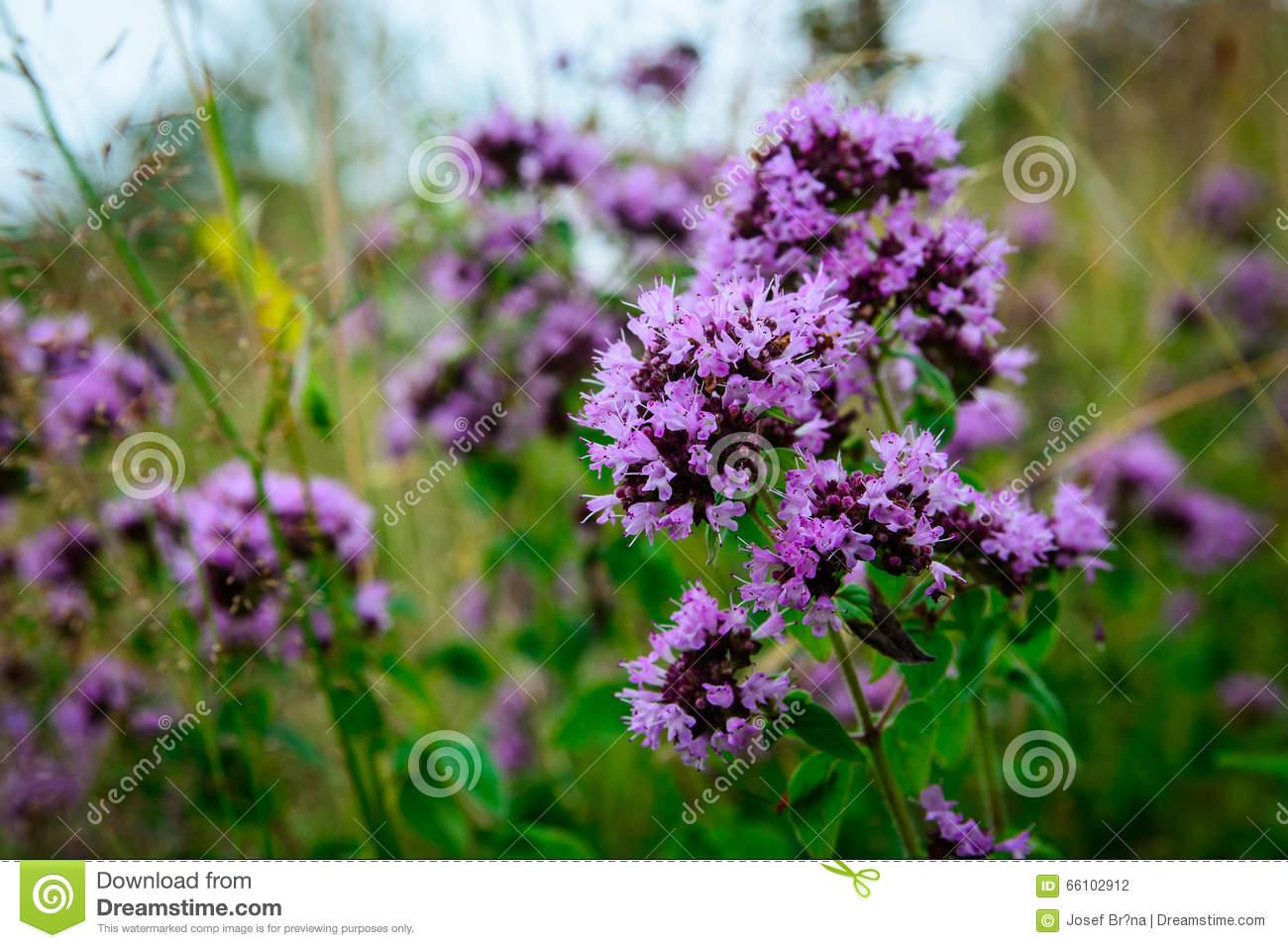 Flowering Oregano (Origanum Vulgare) On A Wild Meadow Stock Photo.