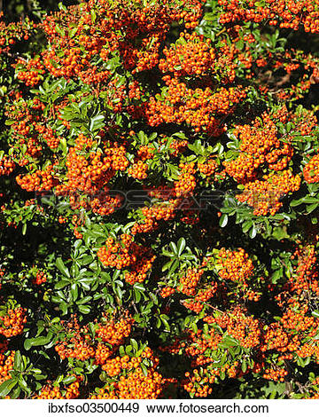 """Stock Photograph of """"Firethorn or Pyracantha (Pyracantha sp."""