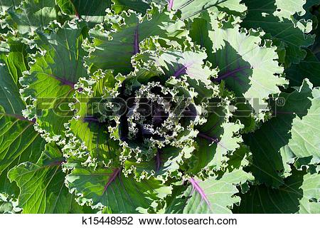 Stock Photo of ornamental cabbage k15448952.