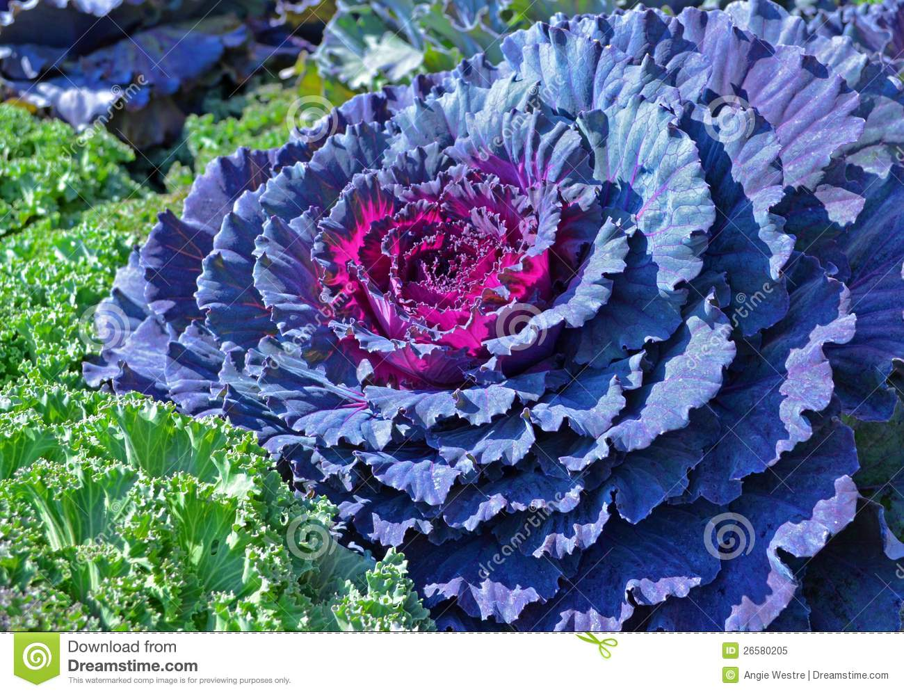 Ornamental Cabbage Royalty Free Stock Photo.