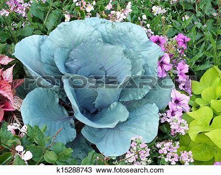 Stock Photo of Ornamental cabbage k15288743.