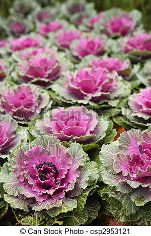 Stock Photography of Ornamental Cabbage Outdoors.