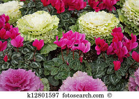 Ornamental cabbage Stock Photo Images. 1,041 ornamental cabbage.