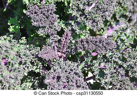 Stock Illustrations of Ornamental cabbage csp31130550.