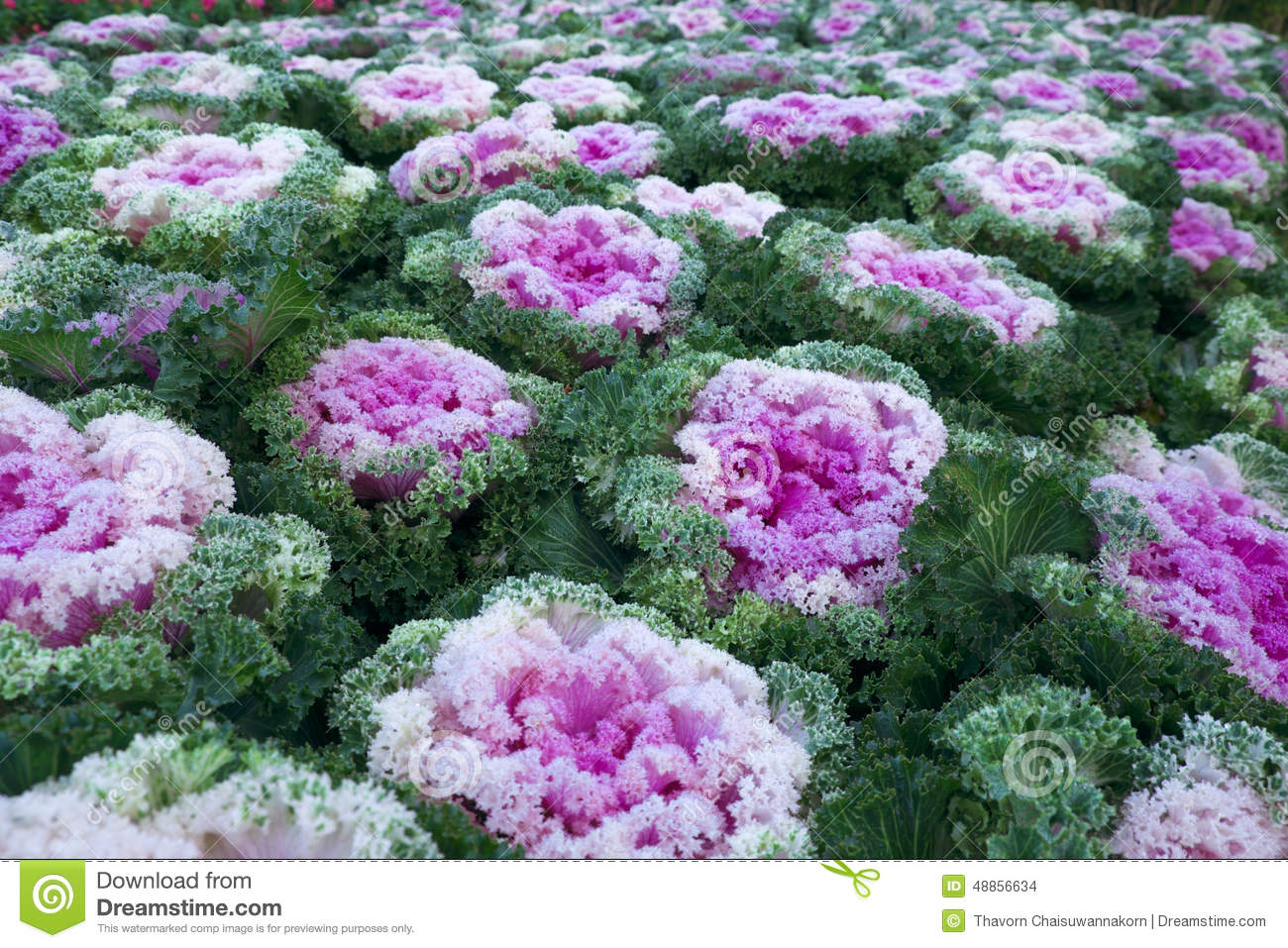 Purple Ornamental Cabbage Plant Stock Photo.