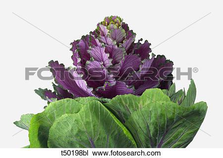 Stock Photo of Ornamental cabbage t50198bl.