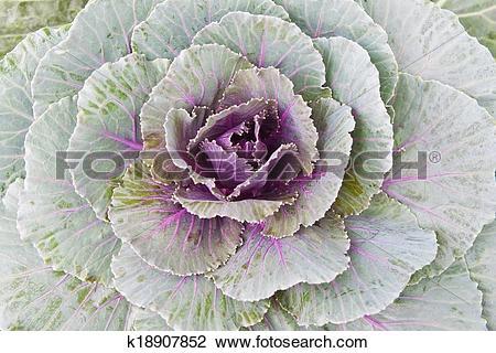 Stock Photo of Ornamental cabbage k18907852.