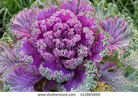 Ornamental Cabbage Stock Images, Royalty.