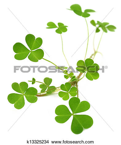 Stock Photo of Decorative clover plant k13325234.