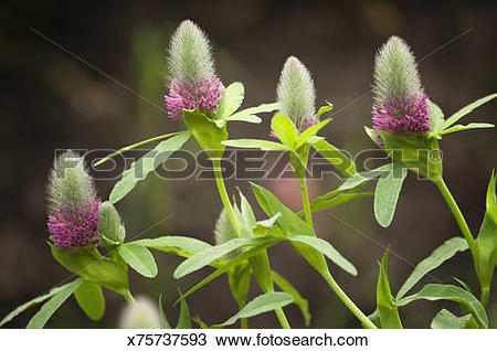 Stock Photo of Red Feather Clover, Ornamental Clover x75737593.