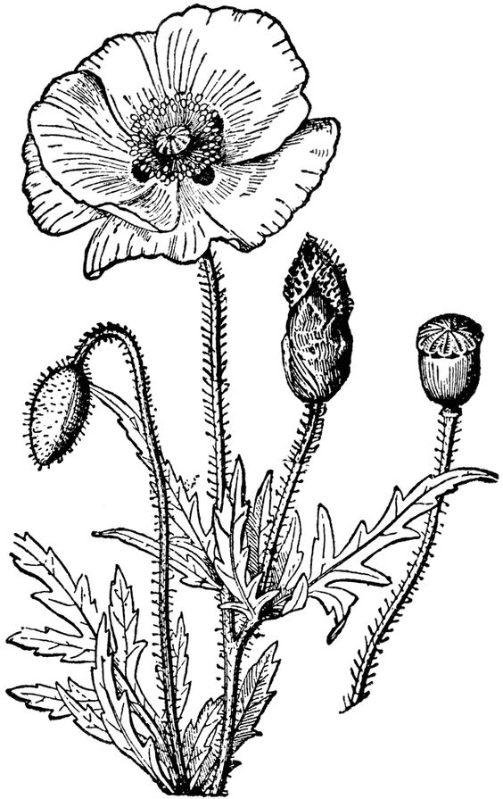 Poppy:: Clip Art ECT engravings.