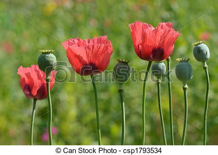 Stock Photo of Ornamental poppies.