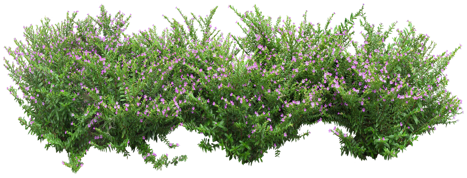 Ornamental Shrub Clipart 20 Free Cliparts Download