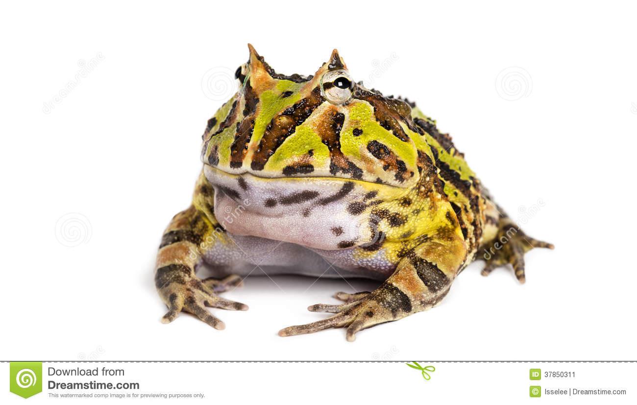 Ornate horned frog clipart #11