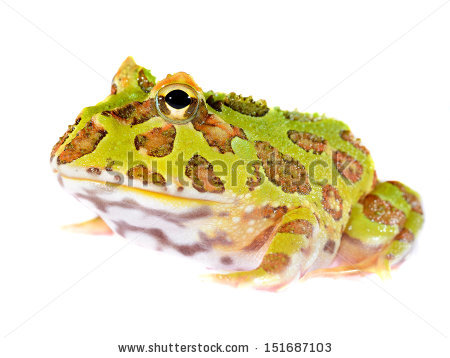 Horned Frogs Stock Photos, Royalty.