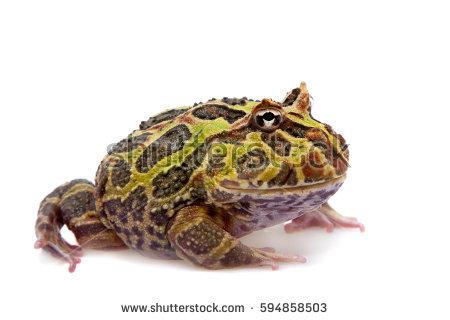 Ornate horned frog clipart #3