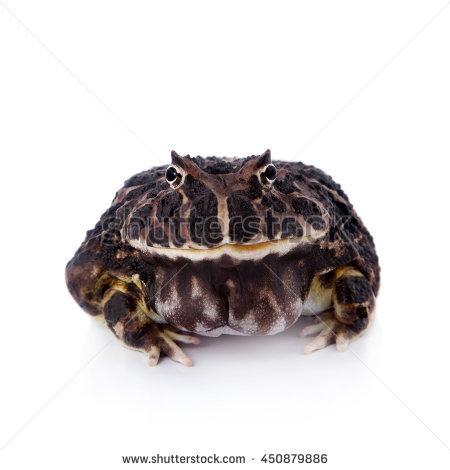 Ornate horned frog clipart #4