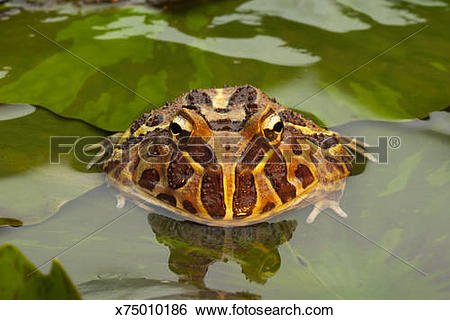 Stock Images of Ornate horned frog (Ceratophrys ornata) on lily.
