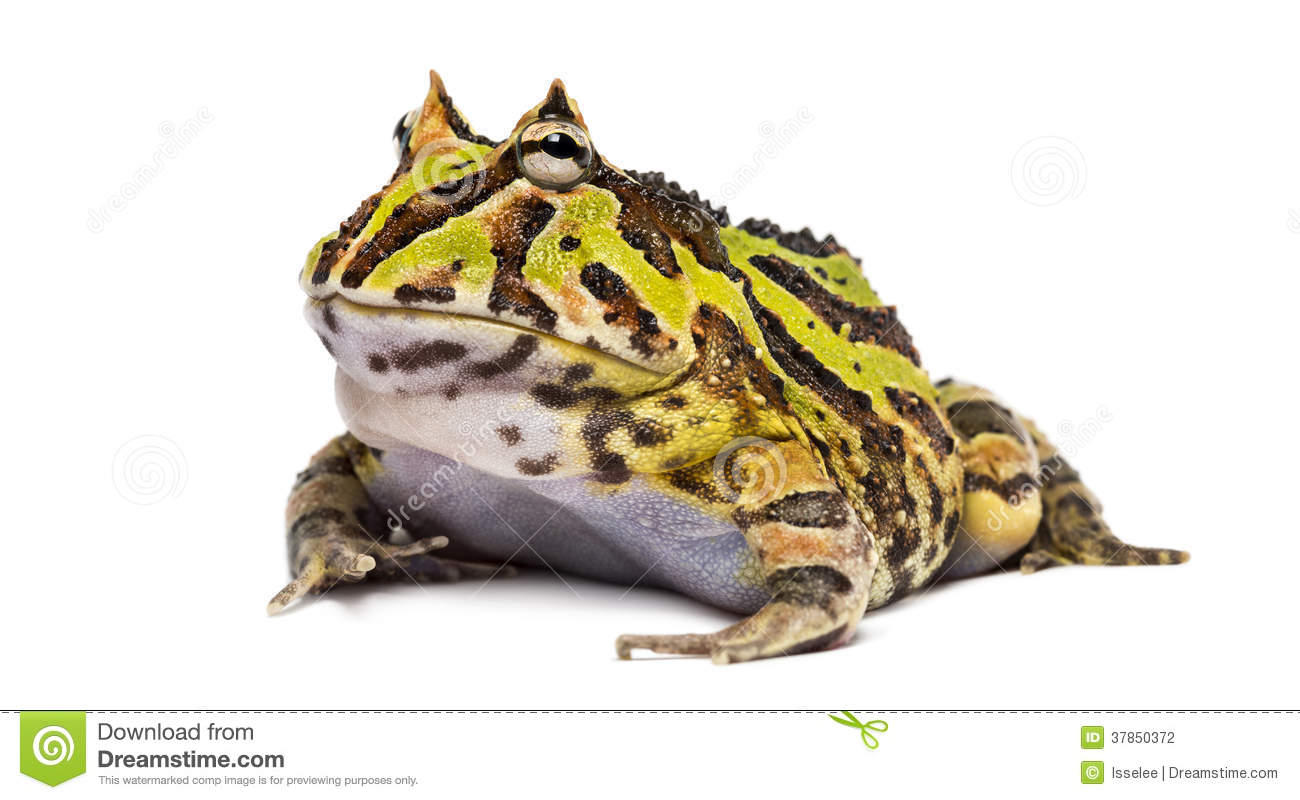 Argentine Horned Frog, Ceratophrys Ornata Stock Photography.