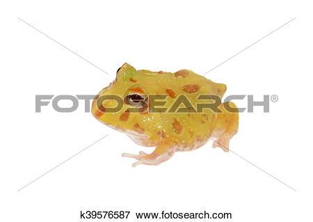 Ornate horned frog clipart #14