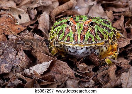 Picture of Ornate horned frog k5067297.
