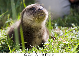Stock Images of Orphaned otter baby.
