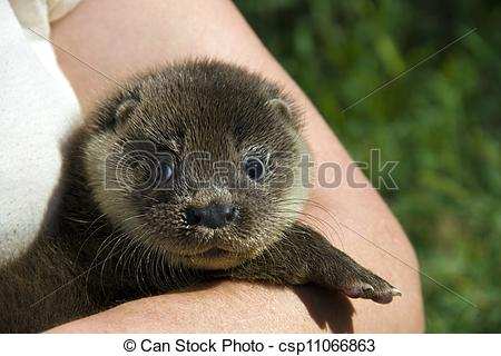 Stock Image of Orphaned otter baby.
