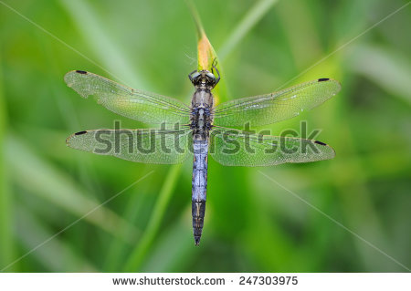Orthetrum Albistylum Stock Photos, Images, & Pictures.