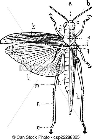 Vector Illustration of Orthoptera, vintage engraving..