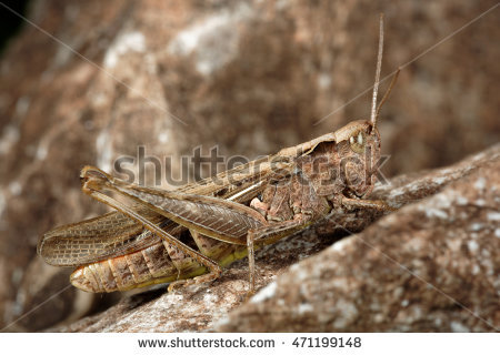 """nature_orthoptera"""" Stock Photos, Royalty."""