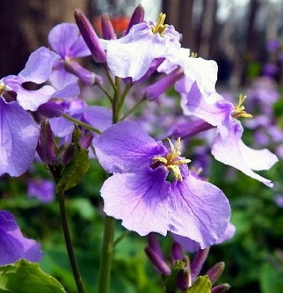 Heirloom 800 Violet Orychophragmus violaceus Seeds by seedsshop.