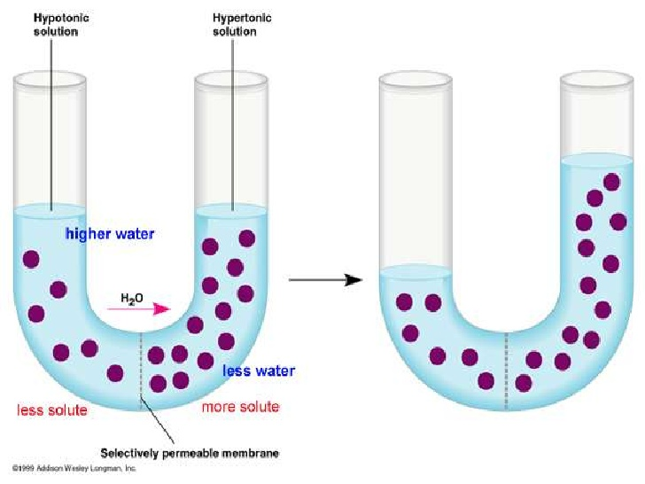 REVISED Cell membrane powerpoint diffusion and osmosis revised.