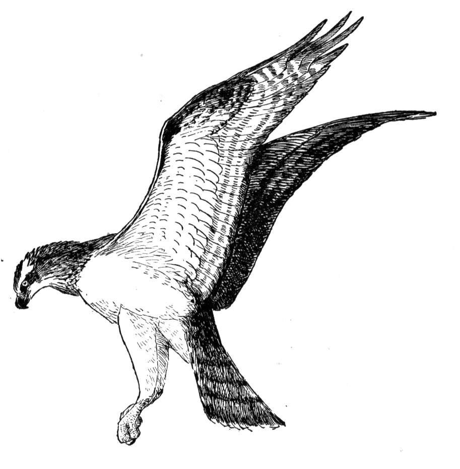 Osprey clipart.