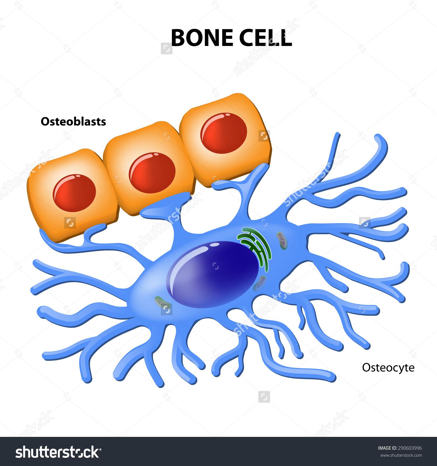Bone Cells Osteoblasts Osteocyte Stock Vector 290603996.