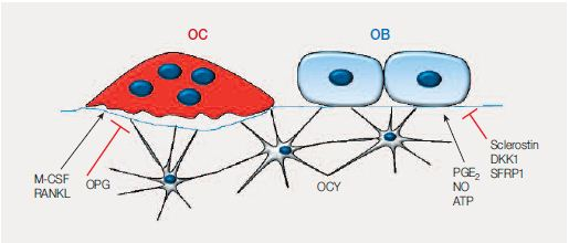 The osteocyte: doing the hard work backstage.