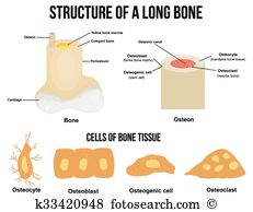 Osteocyte Clip Art Illustrations. 5 osteocyte clipart EPS vector.