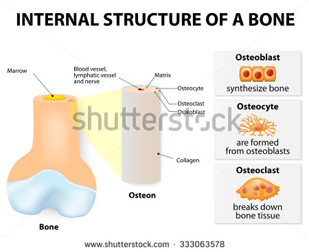 Osteocyte Stock Images, Royalty.