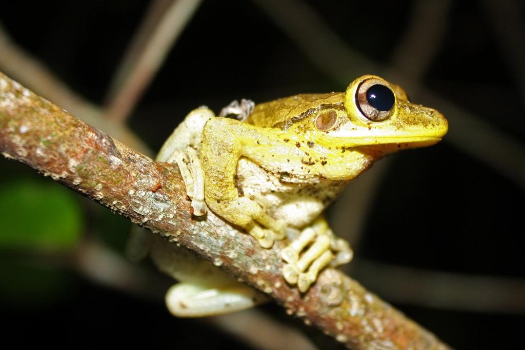 File:Cuban Tree Frog (Osteopilus septentrionalis).jpg.