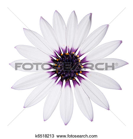 Stock Photo of Osteospermum Asti White Daisy with purple center on.