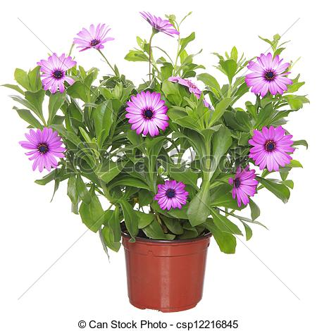Stock Photo of Pot with violet african daisy (Dimorphoteca.