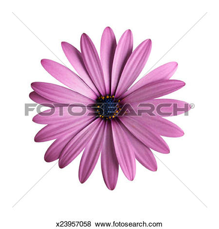 Pictures of Purple Osteospermum Daisy Close.