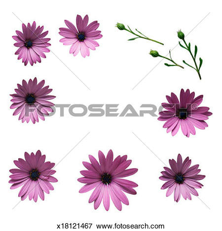 Picture of Osteospermum Daisy Border x18121467.