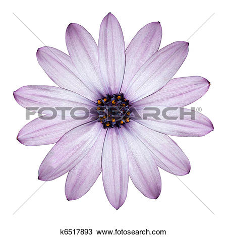 Stock Photo of Light Purple Daisy.