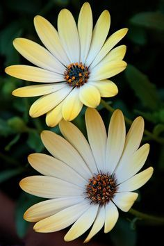 Pin by AngieJGray on asteraceae daisies.