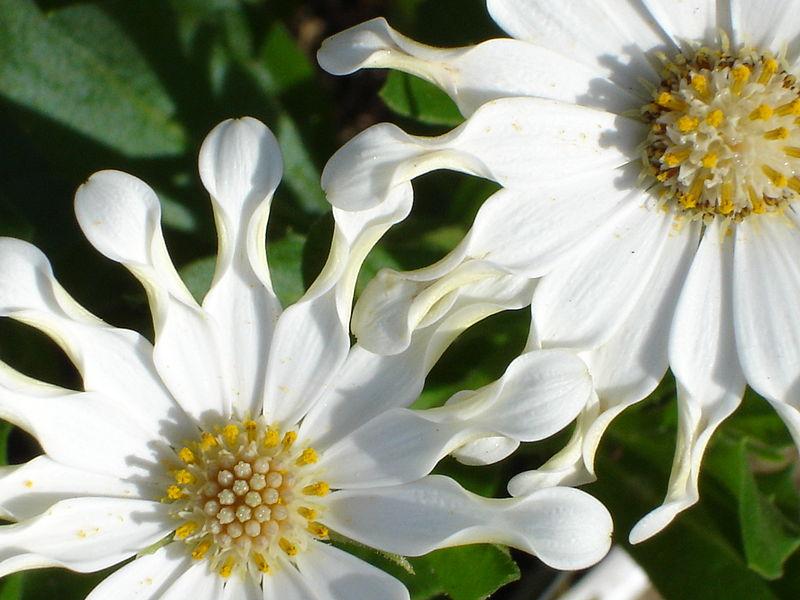 Osteospermum Plant Species.