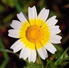Daisies, Africans and Daisies tattoo on Pinterest.