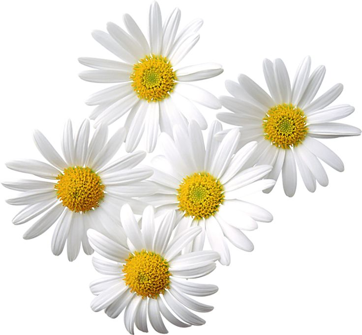 1000+ images about Daisies on Pinterest.