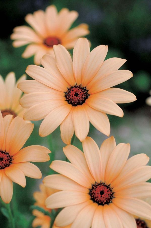 1000+ images about African Daisy (Asteraceae) on Pinterest.